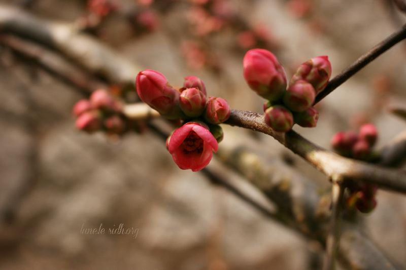 fleurs-cognassier-du-japon
