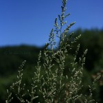 absinthe-en-fleur